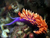Nudibranchs(seaslug or sea snail)