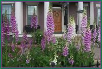 Gorgeous Foxglove in Front Yard of Annie Wiggins Guesthouse, Galena, Illinois