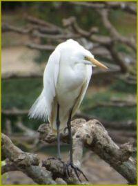 White Egret....