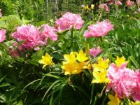 Peonies and daylilies