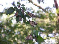 monarchs 8