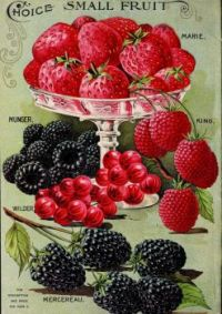 Themes Vintage ads - Berries 1904