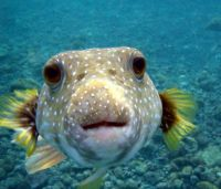 Worlds Most Dangerous Animals - Puffer Fish