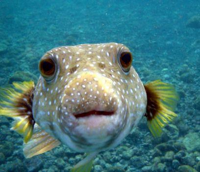 Worlds Most Dangerous Animals - Puffer Fish