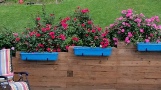 Knock Out Rose Bushes!