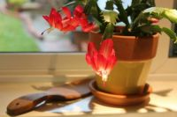 Christmas Cactus time is near