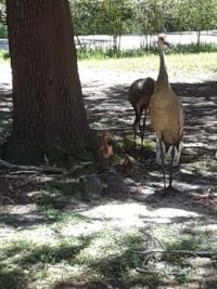 In my front yard a few minutes ago - Mom & Dad Sandhill Crane & 2 babies, a little less than a foot tall.