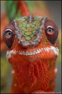 lagarto pantera