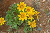 Yellow Daisy in South Africa