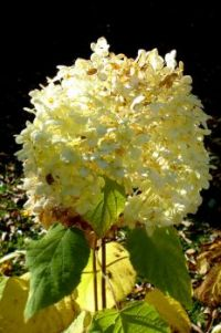 white hortensia in the sunshine