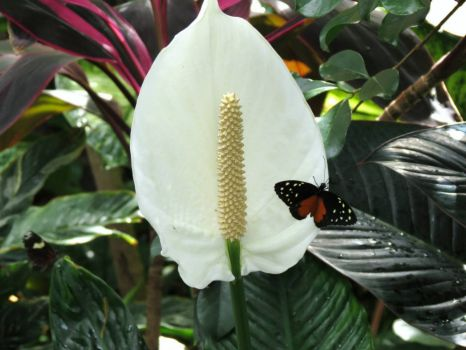 Butterfly on a Lily - At the Butterfly House