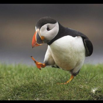 puffin prance