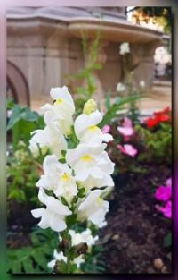 Snapdragons in white