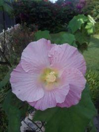 My Confederate Rose - 3PM