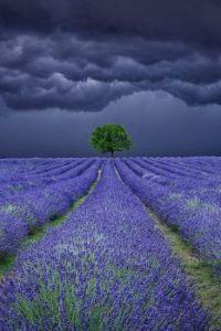 Lavendar field storm, Provence