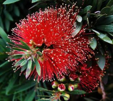 Red Bottle Brush Flower