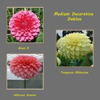 Medium Decorative Dahlias