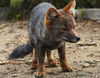 Darwin's fox or Darwin's Zorro (Lycalopex fulvipes) by Jacobita Magazine