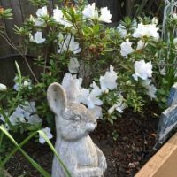 Mrs. Bunny with the white azalea