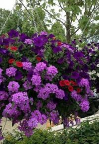 Magnificient Purple Explosion Hanging Basket.
