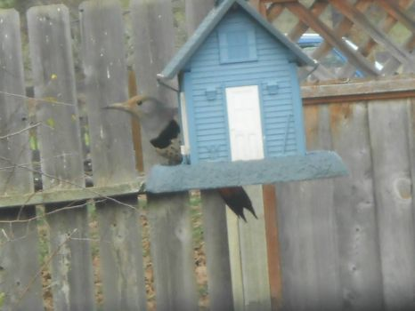 FLicker on Bird Feeder
