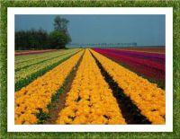 Pole tulipánů...  Tulip field ...