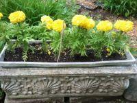 Jumbo Marigolds
