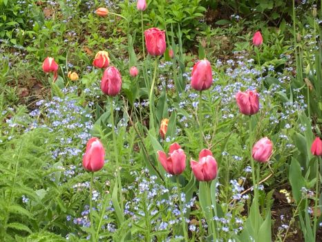 Tulips,forget me nots and one lily of the valley