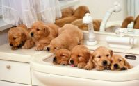 puppies-in-the-sink