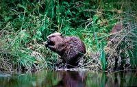 Cornish Otter