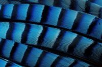 1  ~  Blue Jay Feathers.