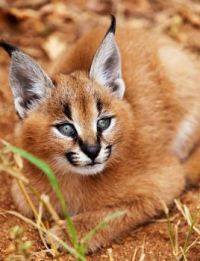 Caracal Kitten by Anthony Ponzo