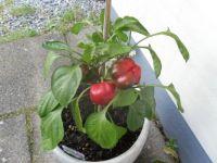 Pepper :)
