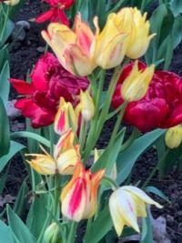 Tulip festival, Dows Lake, Ottawa On. Taken May 29,2020