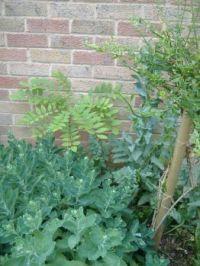 Garden - The Corner 2 - Plants: Wisteria, Winter Jasmine or Broom, Sedum Autumn Joy