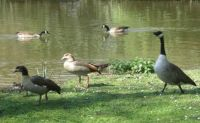 Egyptian and Canada geese