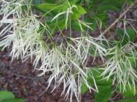 Fringe Tree Bloom