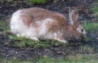 Maine snowshoe hare