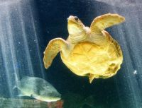 Birch Aquarium - Loggerhead Sea Turtle with maimed back lags