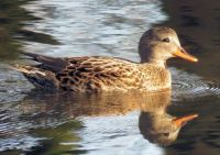 reflected female gadwall (krakeendvrouw)