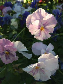 lavender pansies--medium