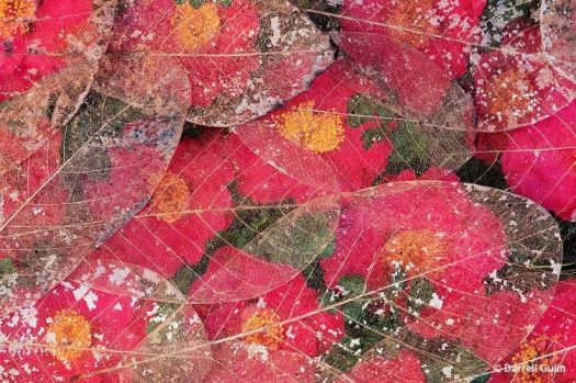 Photo of camelia-petals and leaves