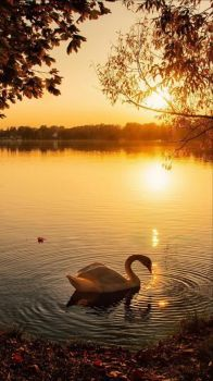 Swan and babies at sunset