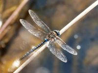 Glasswing dragonfly