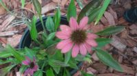 some of my coneflowers