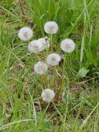 Dandelions: Pesty but Pretty