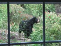 Bear in my Yard 2