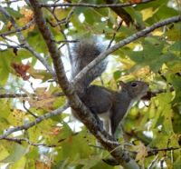 Squirrel in Sweetgum Tree on Quiet after Christmas Day!