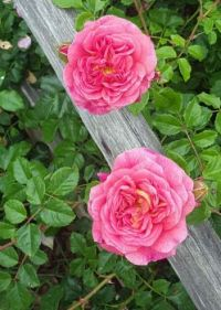 Roses and Wood