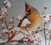 Female Cardinal perched on a branch in the snow
